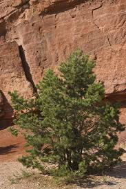 pinyon pine information learn about pinyon pine tree growing and