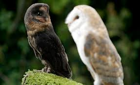 What Does A Barn Owl Look Like Pictured The 100 000 To One Black Barn Owl Daily Mail Online