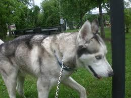 australian shepherd wolf mix german shepherd mixed with husky laura williams