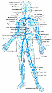 best 25 circulatory system ideas on pinterest circulatory