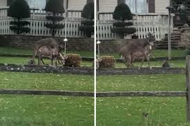 buck tries his luck with two different lawn ornaments