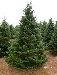 fraser fir tree delivery in manhattan new