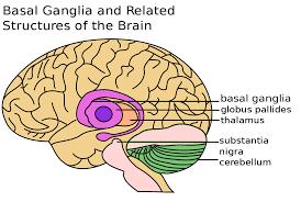 Gross Brain Anatomy Basal Ganglia Wikipedia