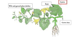 Plant Diseases With Pictures - diagnostic key diseases of cucurbit leaves