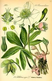 helleborus niger black hellebore pfaf plant database