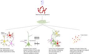 chandelier cells frontiers interneuron progenitor transplantation to treat cns