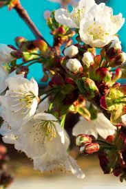 apple tree bloom wallpapers apple tree flowers 4k hd desktop wallpaper for 4k ultra hd tv