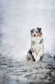 hiking with australian shepherds australian shepherds are beautiful dogs maybe ill have one of