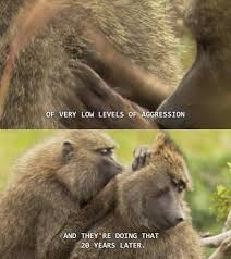 Baboon Meme - robert sapolsky and the urge to neuter in stress portrait of a