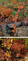 massachusetts native plants invasive plants mass gov