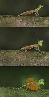 9 best draco lizard images on pinterest amphibians draco and