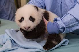 baby panda pics see a cub growing up