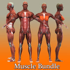 Female Muscles Anatomy Human Male Female Muscular Model