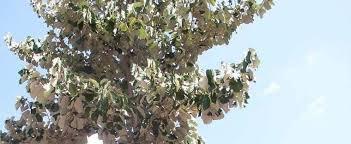 bayur tree maple leaved bayur dinnerplate tree mayeng