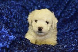 bichon frise kennels scottish terrier u0026 bichon frise puppies for sale in texas