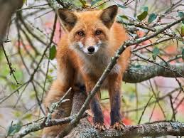 sleeping red fox wallpapers 48 best foxes images on pinterest foxes baby and desktop wallpapers