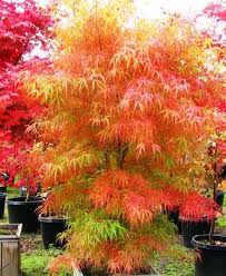 best 25 acer palmatum ideas on acer acer trees and