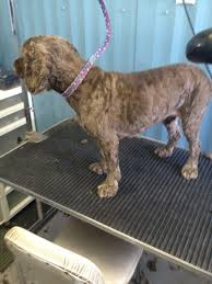 bedlington terrier shaved does anyone prep clip anymore and more efficient tool suggestions