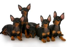 bedlington terrier seattle manchester terrier puppies for sale akc puppyfinder
