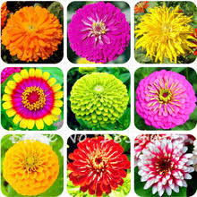 Zinnias Flowers Popular Zinnias Flower Seeds Buy Cheap Zinnias Flower Seeds Lots
