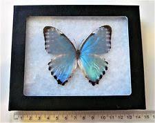 Blue And Green Butterfly - framed butterflies ebay