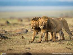 male lion wallpapers 30 stunning photos from national geographic u0027s traveler photo