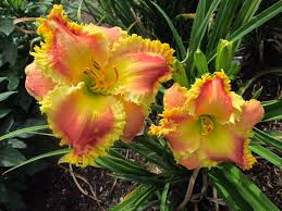 day lillies petal pusher daylilies