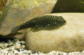 butterfly loach probably as as i ll get to a freshwater