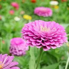 zinnias flowers zinnia benary s lilac harris seeds