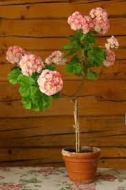 117 best geraniums indoor and outdoor plants images on pinterest