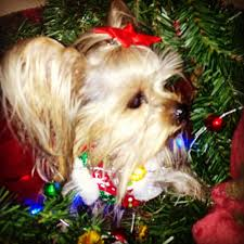 70 best my yorkies images on pinterest yorkies maggie mae and