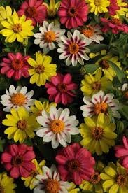 Zinnias Flowers Tips For Growing And Caring For Zinnia Plants