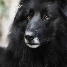 belgian sheepdog herding 32 best belgian sheepdog dog art portraits photographs