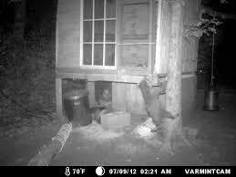raccoon attempting turkey pen break in starving off the land