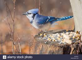 blue seed a blue jay perched on tree stump with bird seed and peanuts stock