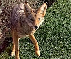 Coyote In My Backyard In Snow Buried Sierra Bears Awake To A Transformed World San