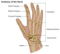 Anatomy Of A Foot Anatomy Of The Hand Comprehensive Orthopaedics