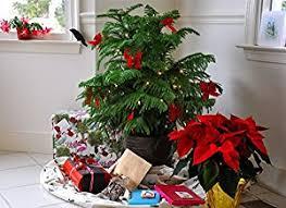 fantastic living christmas tree for life norfolk island pine