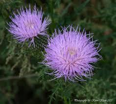 illinois native plants field pasture thistle