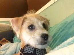 jackadoodle animals pinterest russell terrier terrier and