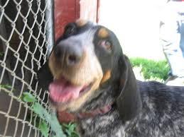 bluetick coonhound cost carly senior coonhound u0026 bluetick coonhound mix u2022 female