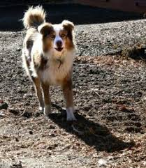 australian shepherd history for dogs and cats platinum performance canine crew pinterest