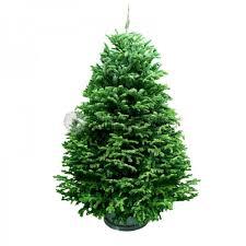 6ft christmas tree far east flora garden centre christmas tree usa nordmann fir 5