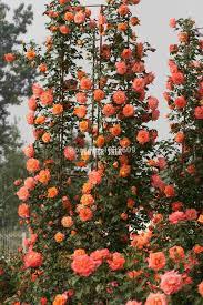 online get cheap pink climbing roses aliexpress com alibaba group
