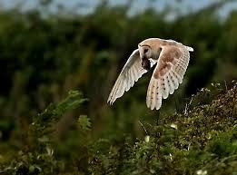 Barn Owl Photography Alan James Photography Barn Owls With Prey