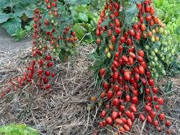 House Plants Diseases - grafted tomatoes beat diseases transatlantic gardener