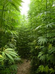 psa too much light grow weed easy