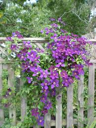 clematis put up chicken wire along privacy fencing for clematis to