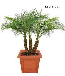 sylvester palm tree price multi stem pygmy date palm robellini palm roebelenii