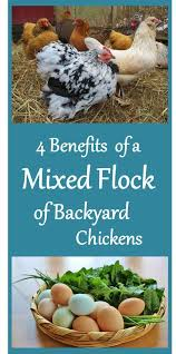 Best Laying Hens For Backyard Best 25 Laying Hens Ideas On Pinterest Raising Chickens
